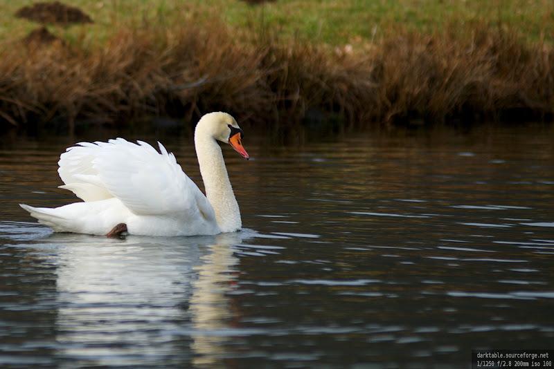 Cygnes d'étang (signe des temps? :-) Nature_2012-2-26_223