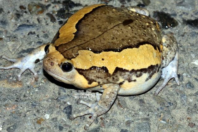 楊懿如指出,亞洲錦蛙初期看不出對生態危害,故未採取任何防治措施,待其大肆擴張已難以搶救;圖片提供:莊勝凱。
