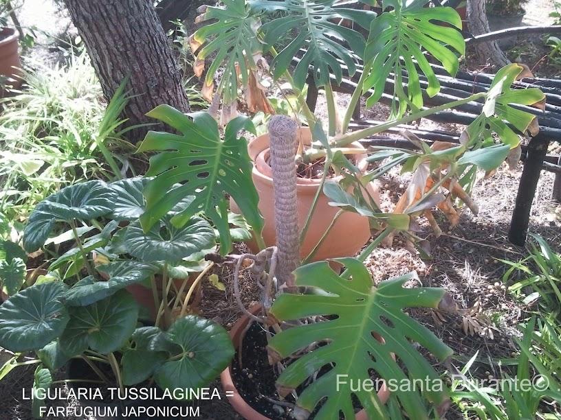 Plantas Para Jardines Mediterr 193 Neos Ligularia