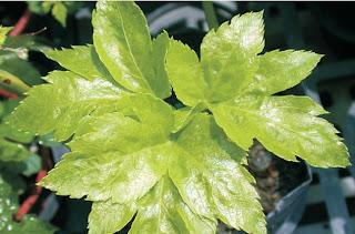 ashitaba leaf ashitaba lombok