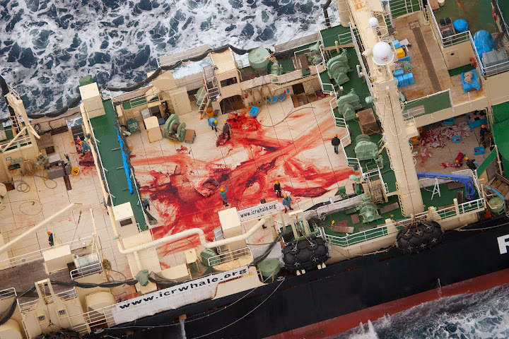 The bloodied deck of the Nisshin Maru stained from the butchering of a whale. Photo credit: Tim Watters, Sea Shepherds Australia