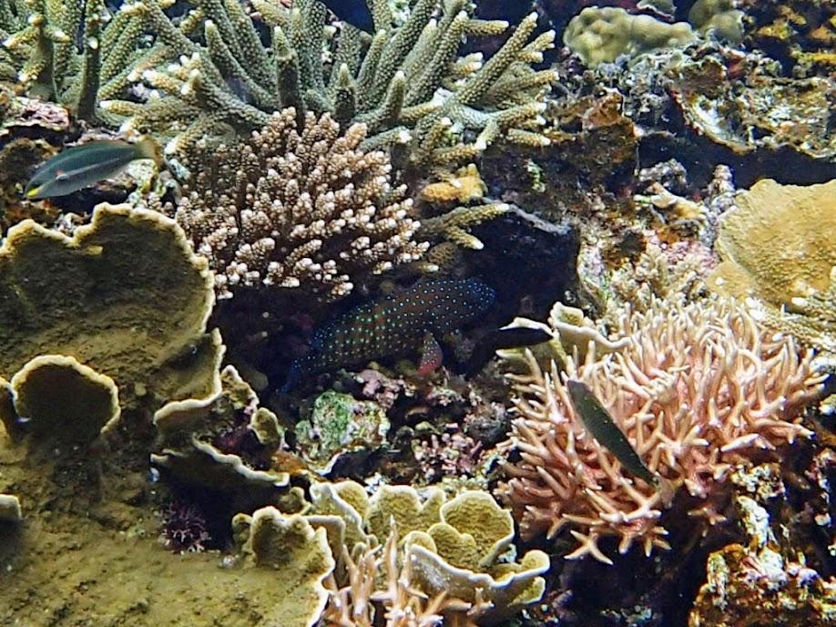 Cephalopholis cyanostigma (Bluespotted Grouper), Small Lagoon, Miniloc Island, Palawan, Philippines.
