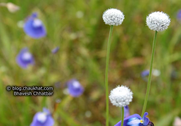 Tiny white flowers and violet flowers at Kas Plateau