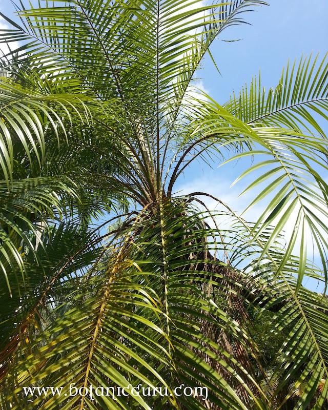 Phoenix roebelenii, Pygmy Date Palm, Dwarf Date Palm tree