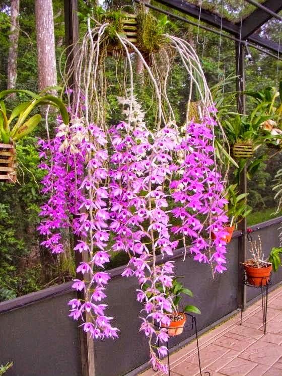 Phi điệp tím là loại hoa lan rất được ưa chuộng, màu sắc đẹp, bền, thơm đậm, quý phái