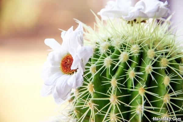 thơ hay ảnh đẹp hoa xương rồng
