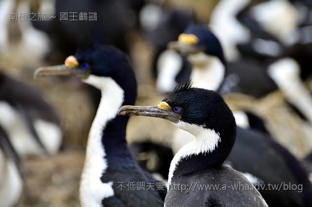 【南極探索旅遊】老婆我回家了?藍眼鸕鶿(國王鸕鶿) Blue-eyed Cormorant@福克蘭群島