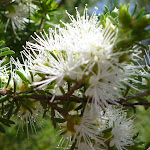 Tick bush (Kunzea ambigua) (344332)