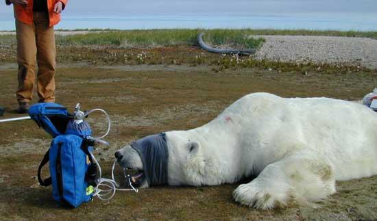 Polar bear receiving supplemental inspired oxygen.