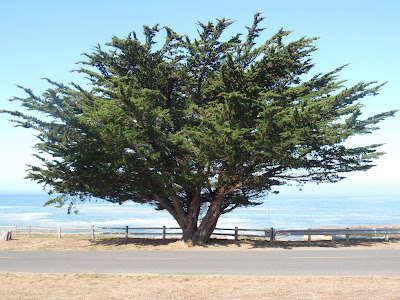 Majestic tree, branches spread before the Pacific