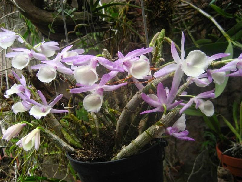Hoàng thảo vôi cây đẹp