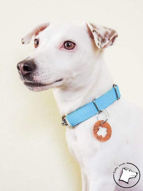 identyfikator dla psa, biały jack russell terrier