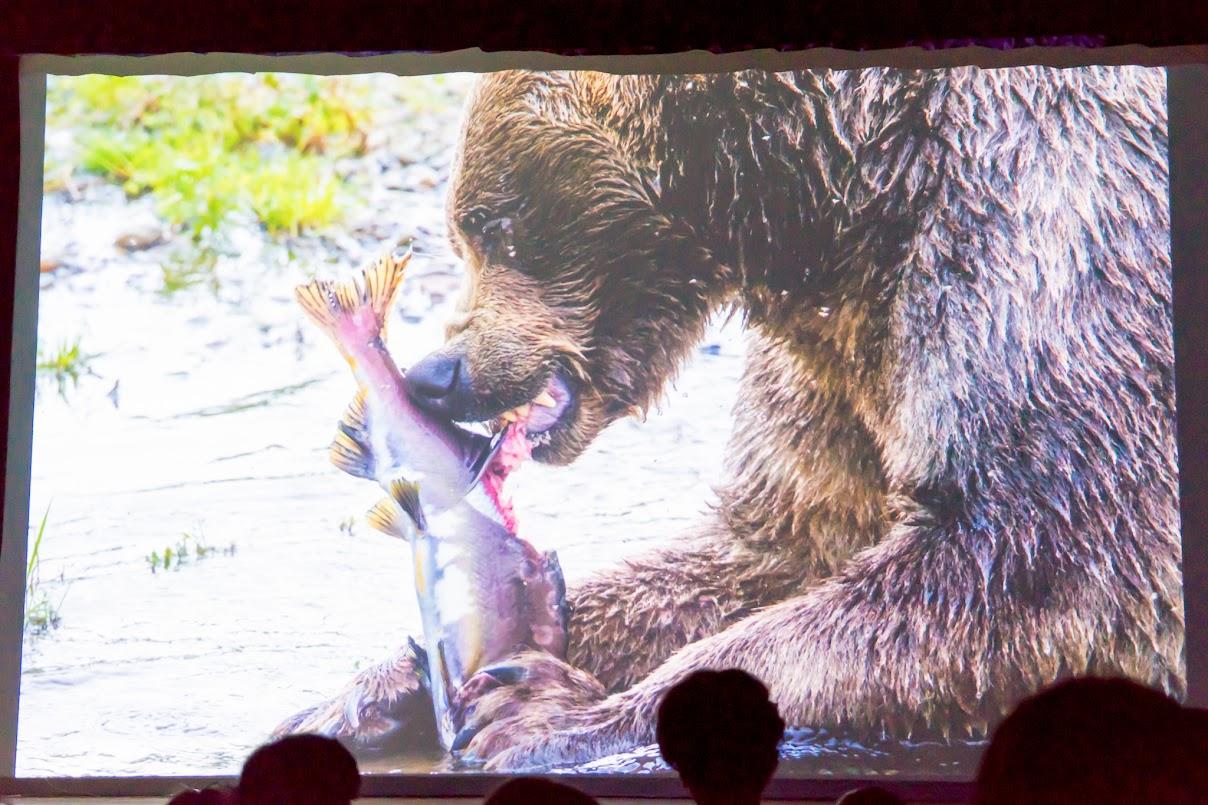 熊は食べれるだけ食べて、冬眠のための栄養を蓄えます