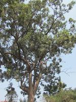 https://lh4.googleusercontent.com/-2KAeruv6r5Q/T4fW4qCe9YI/AAAAAAAAAYI/nJ-W7oT9s1c/s1600/ZZ+Unknown+084+Tree+-+Canopy.jpg