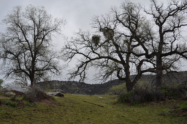 oaks on the hillside coming into leaves, grass speckled with white flowers