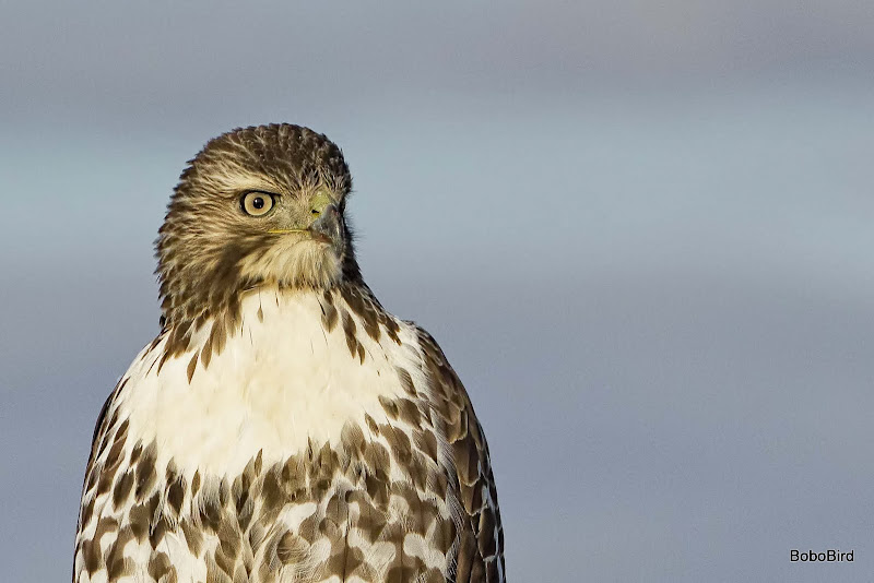 Last set - Hawk