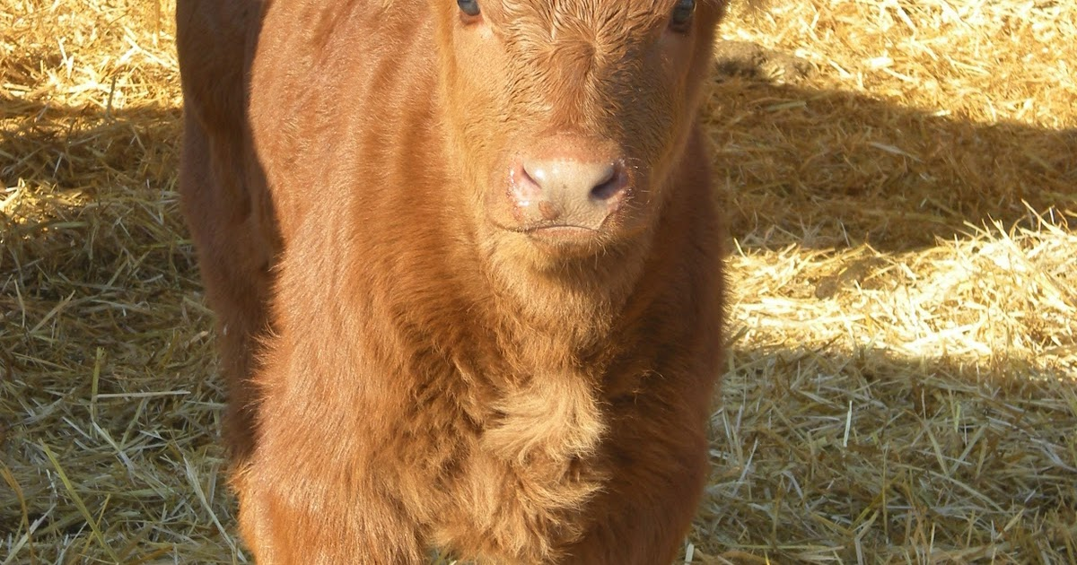Crystal Cattle: I can't eat beef I have Celiac Disease