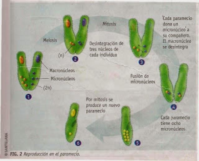 Algas y bacterias con reproduccion asexual
