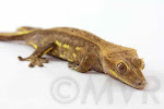 Opera Man - Phantom pinstripe crested gecko from moonvalleyreptiles.com