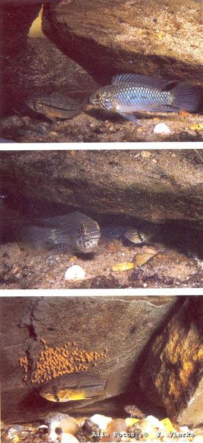 Apistogramma resticulata: Balz, Ablaichpause, Weibchen am Laich