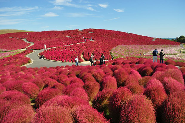 Hitachi Seaside Park Turns Red in Autumn