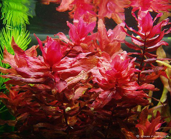 Kết quả hình ảnh cho cây táo đỏ thủy sinh