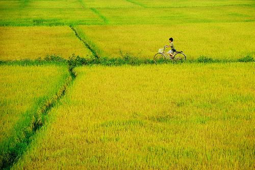 Những bài thơ hay viết về cánh đồng lúa làng quê