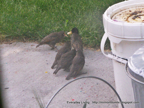 photo of a momma starling feeding her babies