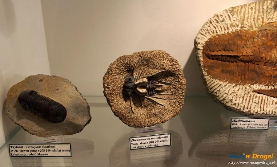 Muzeum Minerałów w Świętej Katarzynie - skamieniałości trylobit