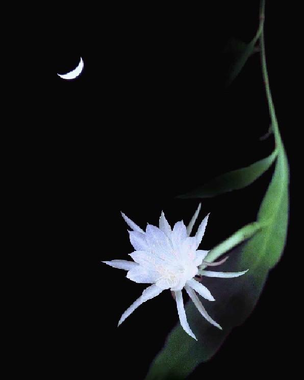 Hình ảnh hoa Quỳnh nở về đêm