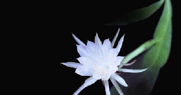 Thơ hay họa ảnh Hoa Quỳnh đẹp nhất
