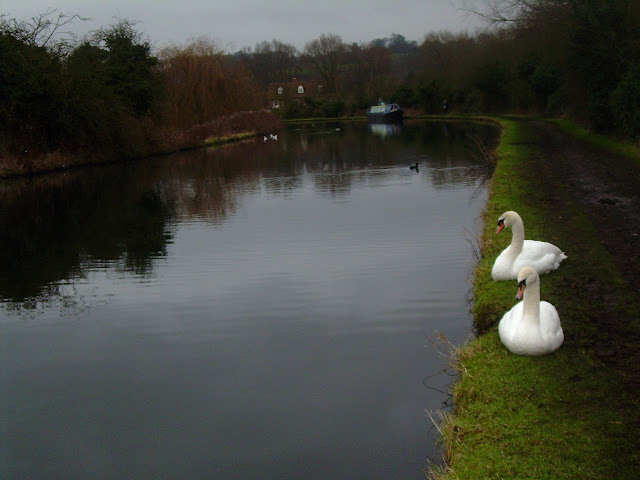 Towpath swans