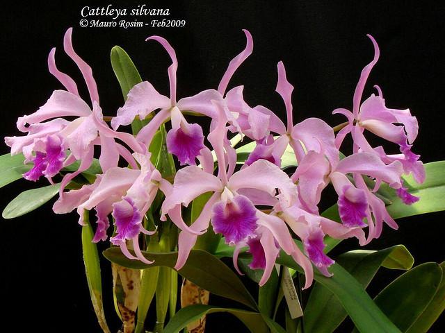 Растения из Тюмени. Краткий обзор - Страница 2 Cattleya%252520silvana