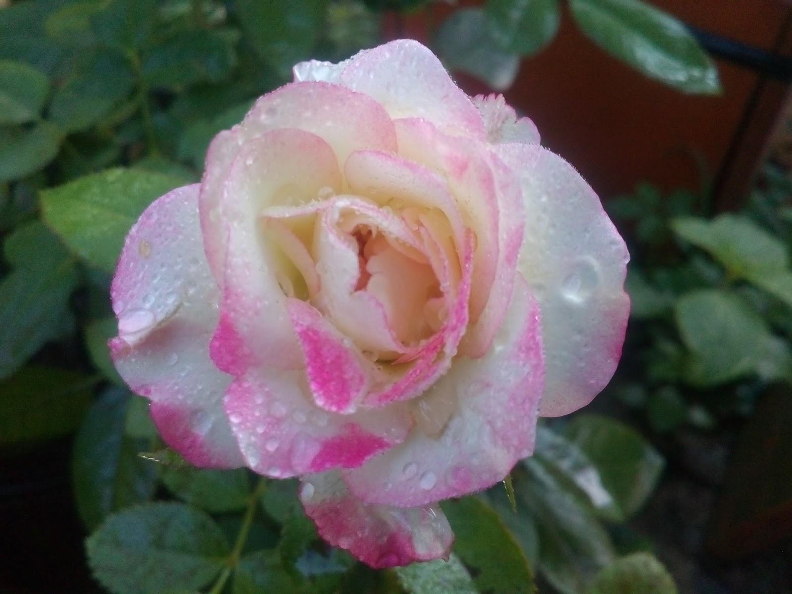 Hoa hồng ngoại Cherry Parfait (Nguồn ảnh: vườn hồng Vân Loan, Sa Đéc)