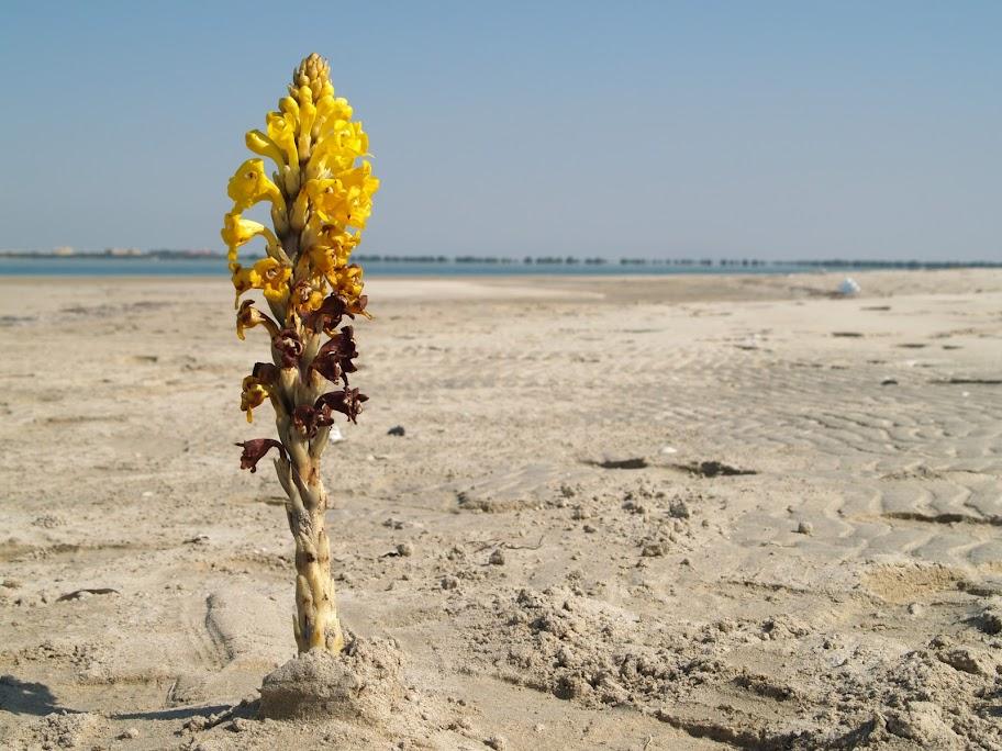 Desert hiyacinth