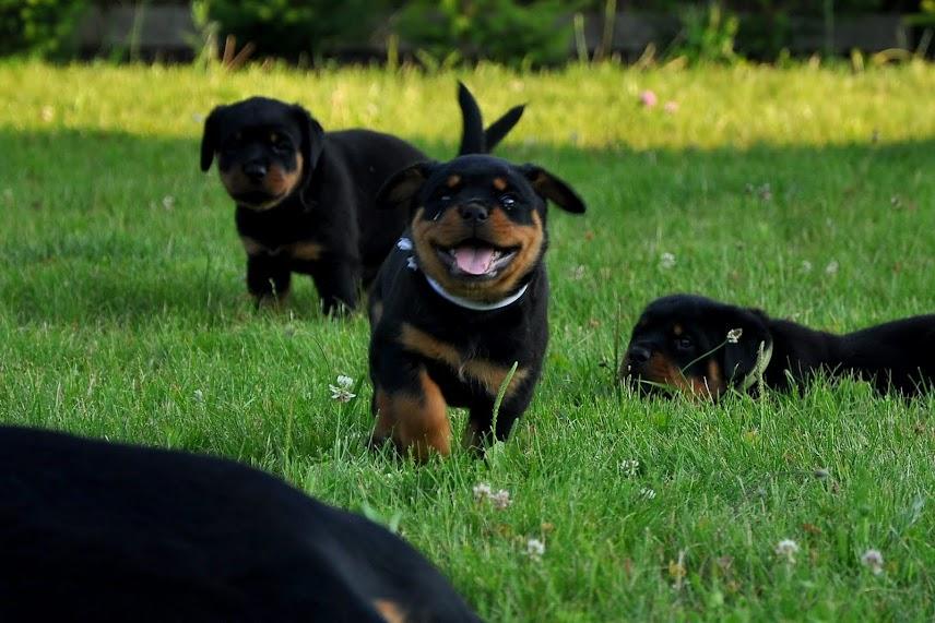 Biegający szczeniak rottweiler
