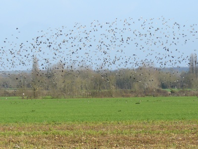 French village diaries migrating birds France lapwings