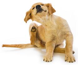 Luizen bij honden