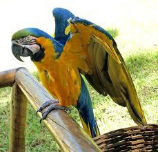 Beo, Burung Paling Aneh