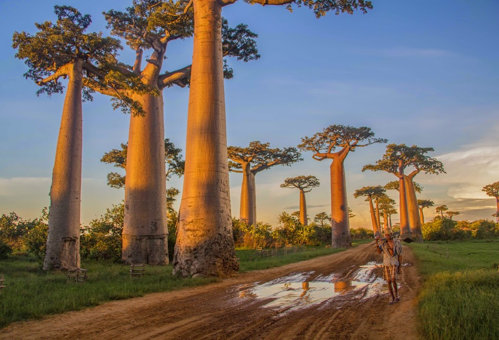 Giant Baobabs in Madagascar