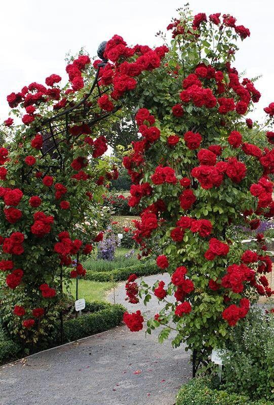 Một khung vòm trang trí bằng hoa hồng leo, Sắc hoa hồng leo đỏ thắm rất bắt mắt