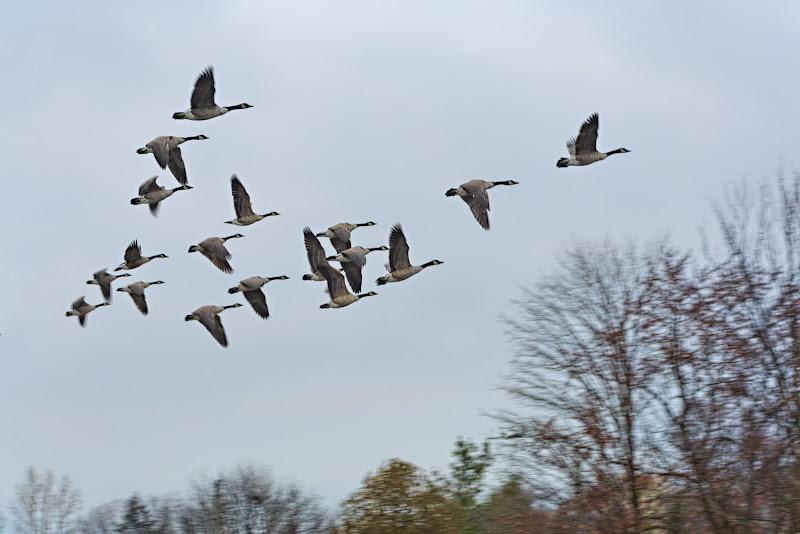 Flight of the Canada Goose