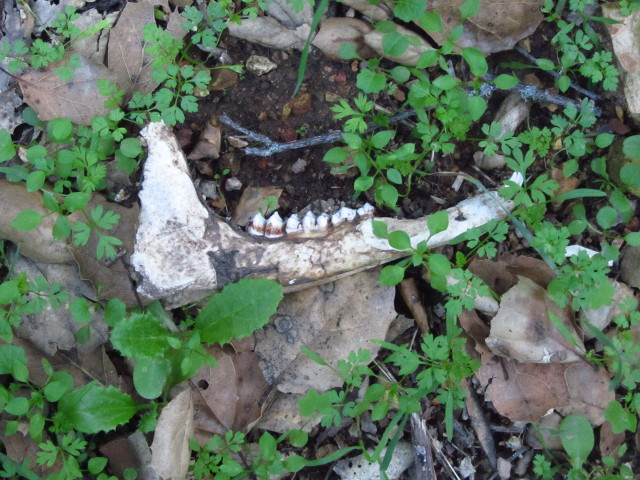 deer jawbone, perhaps