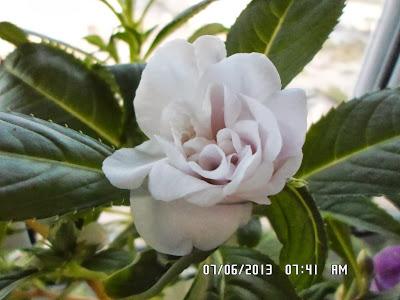 Бальзамин  - Страница 8 SAM_0723