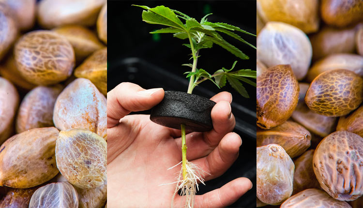 Что лучше конопля прорастание семян в гидропонике