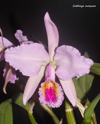 Cattleya mossiae IMG_0655b%2520%2528Medium%2529
