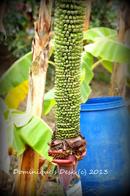 Thousand finger banana (Banana Musa)