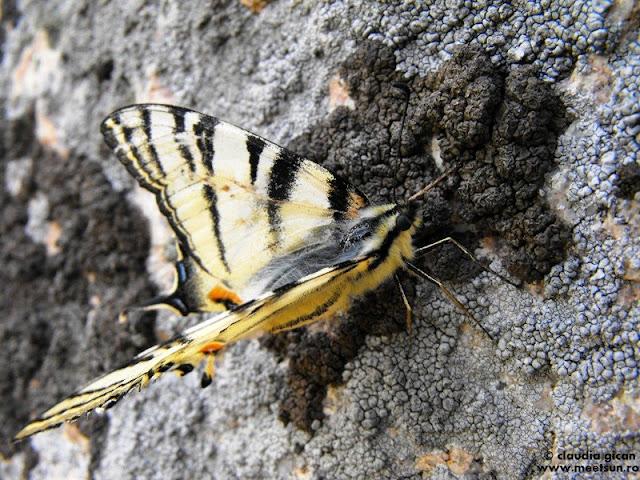 fluture Coada Rândunicii in Macin, Iphiclides podalirius