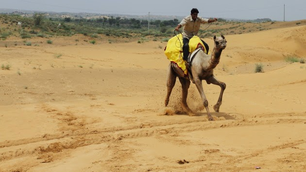 A racing camel in the deserts of Ossiyan, Rajasthan