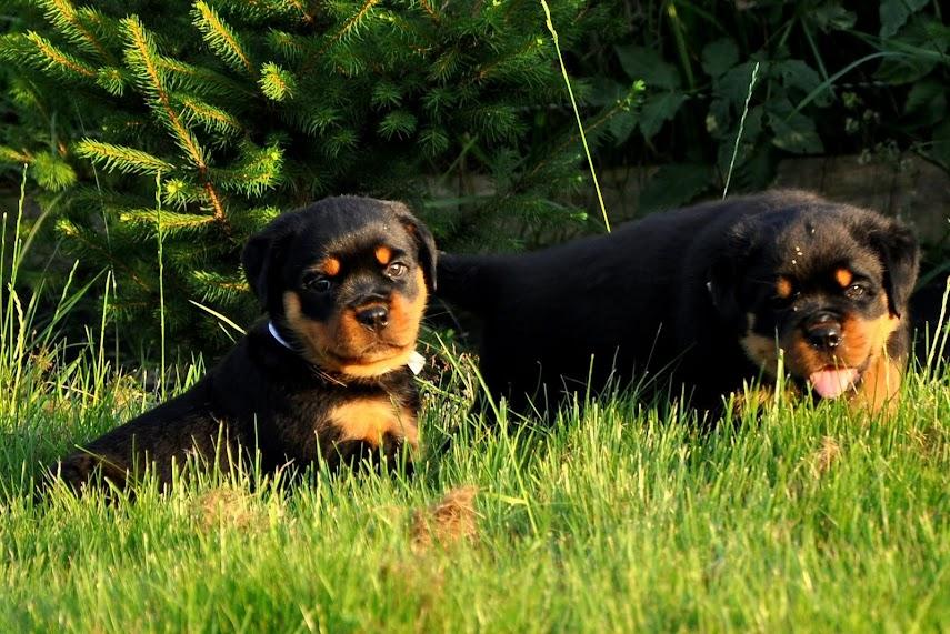 szczeniaki pod choinką z domowej hodowla rottweiler